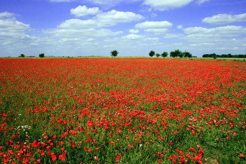 Poppy fields Flanders