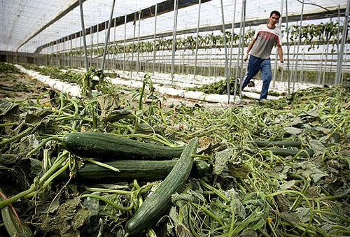 Pepinos en un invernadero de Almería (Foto: EFE)