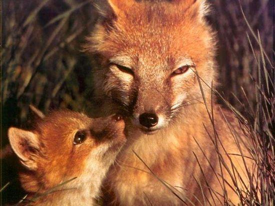 Zorra y su hijo