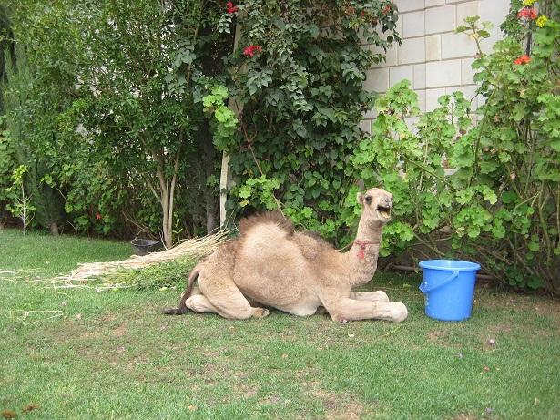 Un camello en la embajada    El Diplomático    Blogs Internacional ... acea1e3b7ea