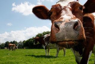 La ganadería es el principal emisor de metano_iStockphoto