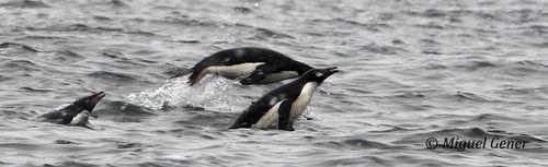 Post pinguinos 6