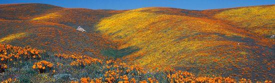 Antelope_Valley_Poppy_Res