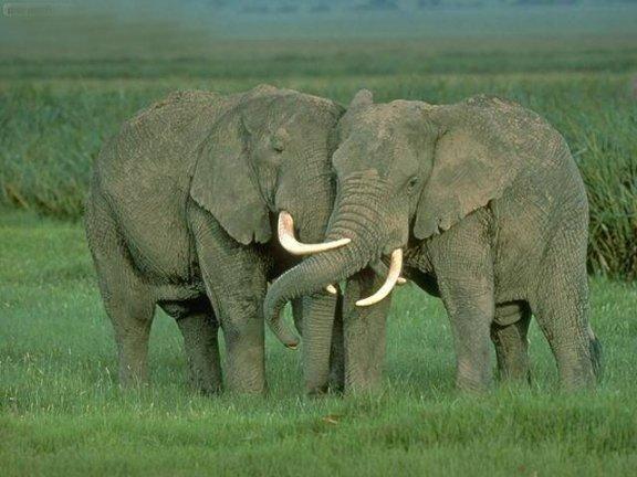 Elefantes amándose