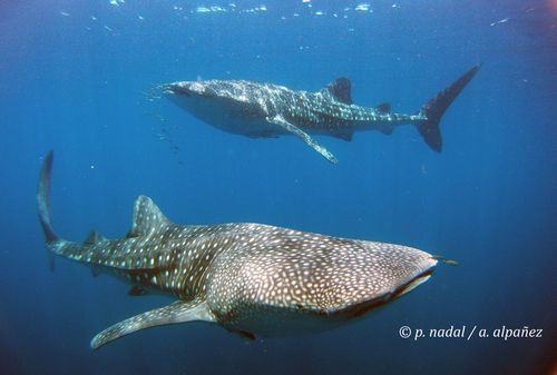Tiburón para post 5