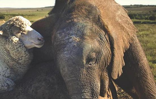Elefante y oveja