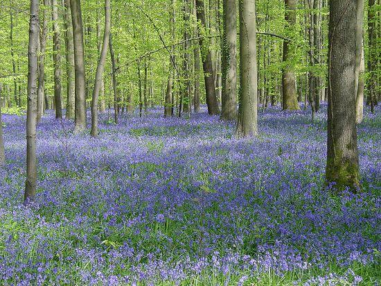 Bosque de Halle