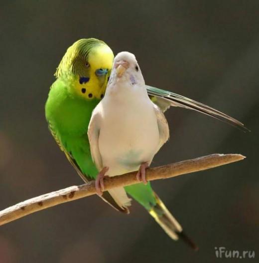 Pájaros enamorando