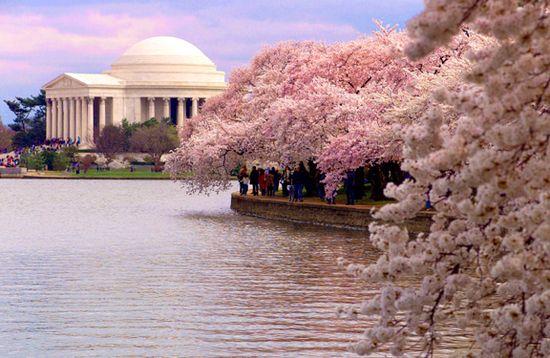 Cherry-blossom-festival-washington-dc-