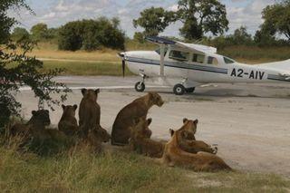 Leones y avioneta