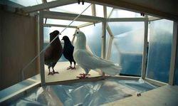 Pigeon d'or de Van Balen