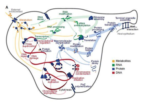Mycoplasma_model
