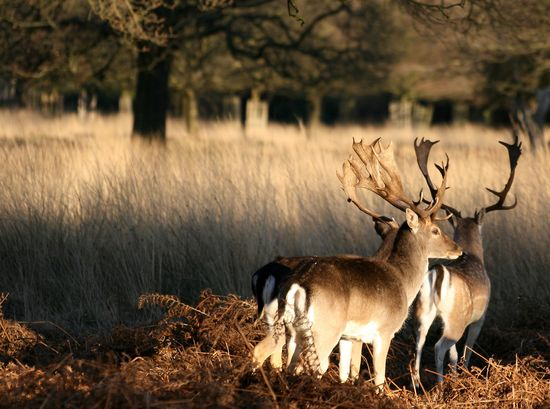 Two_deer_at_Richmond_Park,_London Keven Law Wikimedia