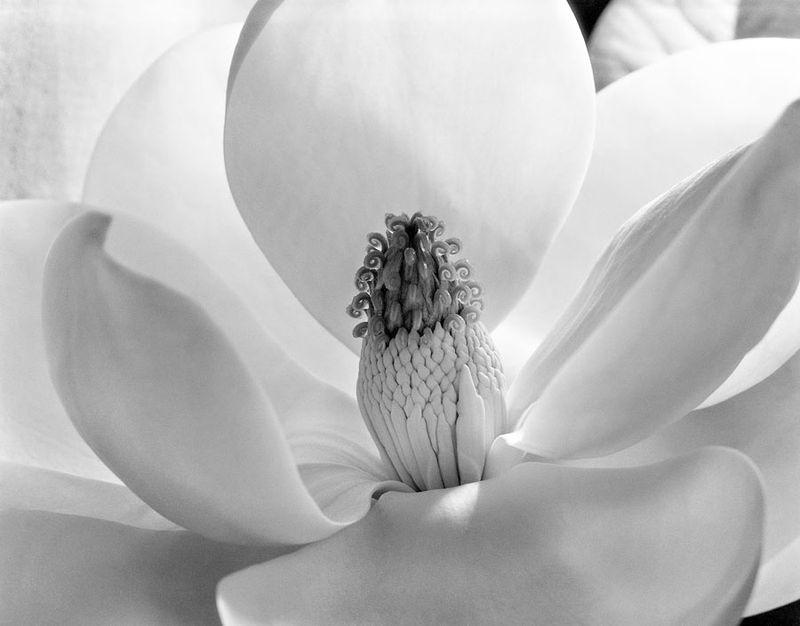 Imogen cunningham magnolia, 1925.