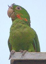 Maracana (ave)