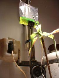 Bosque maiz transgénico suicida de Carlos Corpa
