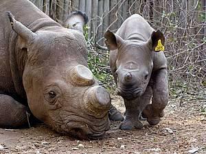 Rhino-poaching.1
