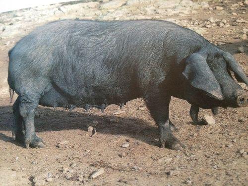 Cerdo negro de Mallorca, en recuperación paulatina. Pertenece al tronco del ibérico. Se le impide comer bellotas durante los tres meses previos a su sacrificio