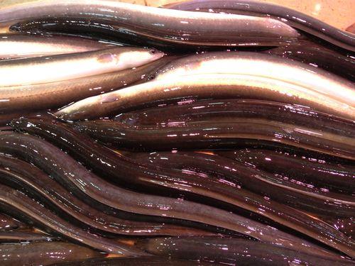 Anguilas vivas que se sacrifican y trocean al momento