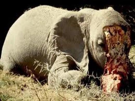 Elefantes muertos por el hombre