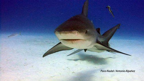 Tiburón toro 2