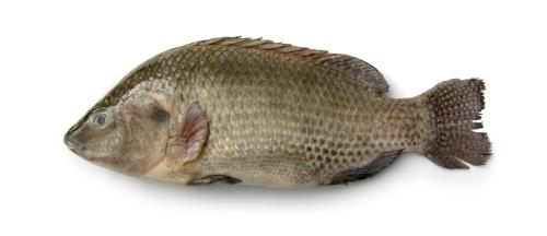 Una tilapia