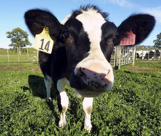 DAISY-vaca-clonada
