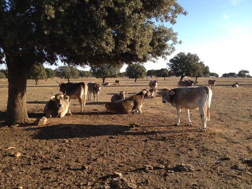 Dehesa de Petra Mora en Zamora, con vacas de raza pardo alpina