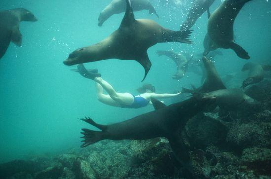 Un grupo de lobos marinos juega con una buceadora, en el islote Plaza, cercano a la isal de Santa Cruz, en las Galápagos  Tui de Roy