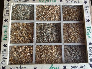 Muestra de los granos que utlizan en Rio Pradillo para la elaboración del pan