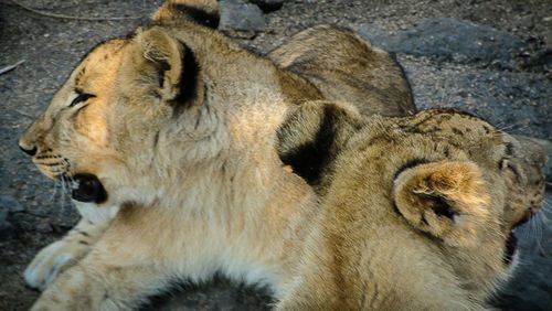 Paseando con leones 4