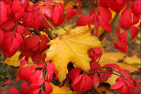 P7_Mapple leafs