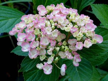 H. macrophylla 'Ayesha'