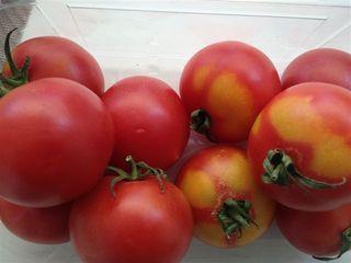 """Tomates de """"penjar"""""""
