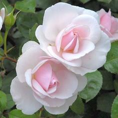 Rosa Jardin de Granville