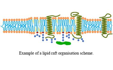 JZ Lipid_raft_organisation_scheme