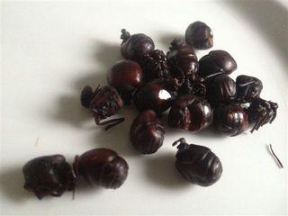 Hormigas culonas, saben parecido a los chapulines mexicanos. Una exquisitez de temporada