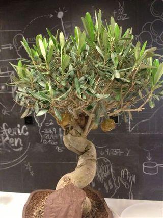 Olivo, símbol del Mediterráneo. Del arbol cuelgan olivas caramelizadas con anchoas