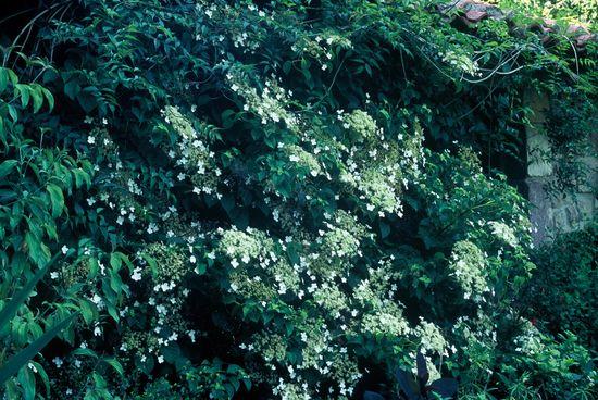 H. petiolaris