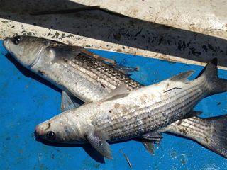 Mújoles sobre la cubierta de la patera, recién capturados. Los mismos que en las pescaderías de Murcia se cotizan a 10/12 euros el kilo