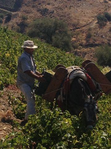 Vendimiador con su mulo en una de las laderas de la Axarquía, con pendientes que oscilan entre el 40% y el 60%. Un trabajo difícil