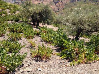 Viñedos y olivos dos cultivos que alternan en las fuertes pendientes de La Axarquía