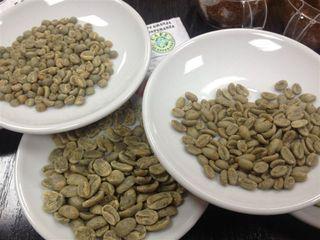 Tres muestras en verde de diferentes variedades. De izquierda a derecha, mokka, laurina y marago