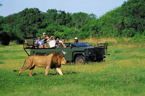 Safari león