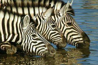 Safari cebras
