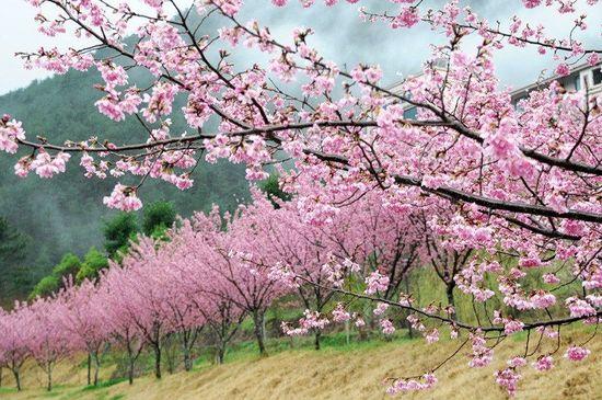 Prunus-serrulata10