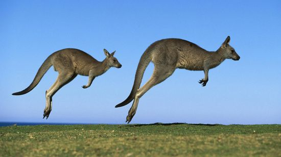 Kangaroo-High-Resolution-