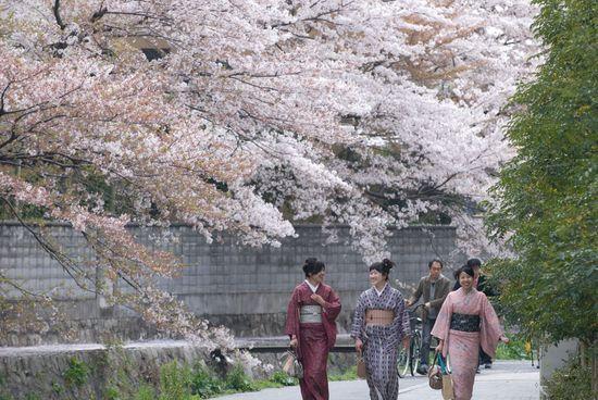 Cerisiers-fleurs