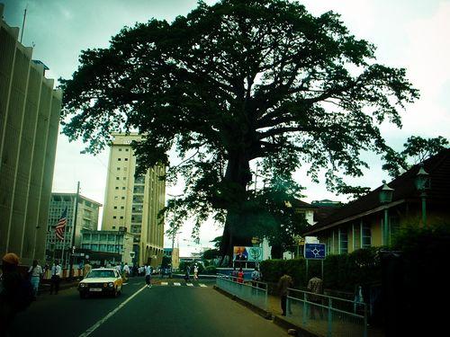 Sierra-leone-cotton-tree