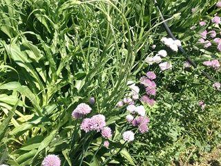 Huerta regida por los principios de la permacultura, en el Escorial, donde plantas y flores crecen desordenadamente y entremezcladas